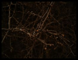 boxthorns by vertis