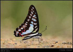 Graphium evemon eventus by log1t3ch