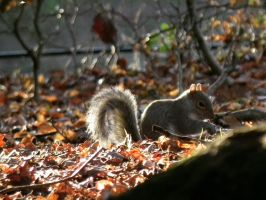 wray squirrel 2 by harrietbaxter