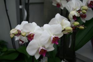 nice white orchids 6 by ingeline-art