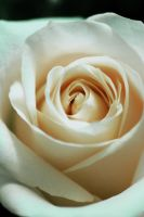 Rose by AestheticIndulgence