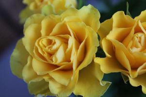 yellow roses II. by Destinytte