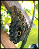 Owl Butterfly by cycowolf