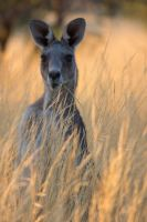 Kangaroo in the grass by ajhaysom