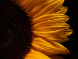 Sunflower... 2 by AgataSwat