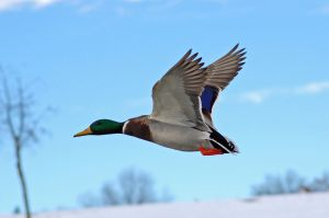 mallard drake in flight by Glacierman54