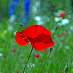 lady in red by augenweide