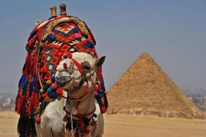 Camel at Pyramids of Giza by fourthwall