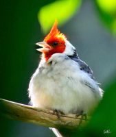 Tweet - Red-crested Cardinal by AzureWindProductions