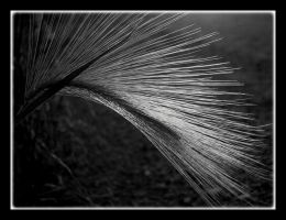 Black and White Horsetail by CaroleLee