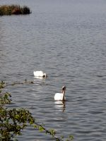 Swan lake by Tenel