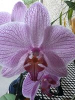 isabella's orchid by peacekid4
