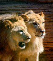 Two Lions by DaytonaBlue64Impala