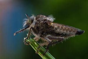 Robber Fly 7 by Alliec