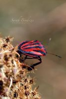 Red Bug. by Blueberryblack