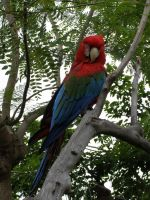 Scarlet Macaw by Nerdiphied