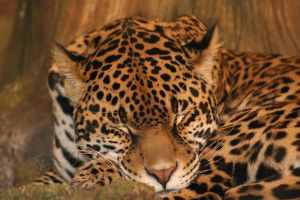 jaguar by mrs-munkyette