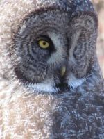 Great Grey Owl, What a Face by Corvus-cornix-3