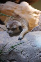 Sleepy Meerkat by littlerobin87