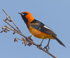 I'm on fire - Spot-breasted Oriole by Jamie-MacArthur