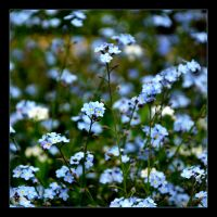 Forget-me-nots It's A Flowers From Fairy Tale by skarzynscy