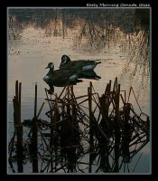 Early Morning Canada Geese by boron
