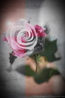 Don't Take Color for Granted (Rose Contest) by SnapShot120