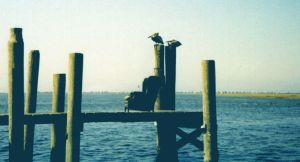 Pelicans and a Chair by Motorhed