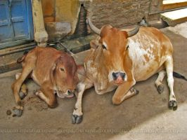 Cows in India by Davero