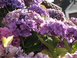 Hortensia by Syd62