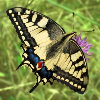 Papilio machaon (2) by starykocur