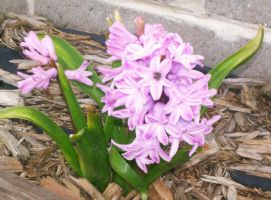 Hyacinth in Bloom by Willys-Sweetheart
