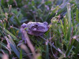 Tree Frog 18 of 24 by celticmaiden7
