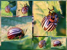 Colorado beetle by MagicLolita