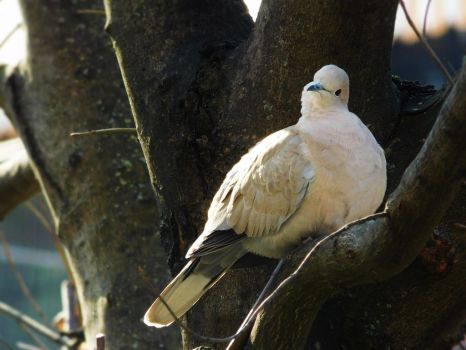 Turtledove by QueenBlackDragonfly