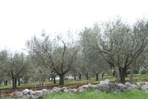 view to olive trees by ingeline-art