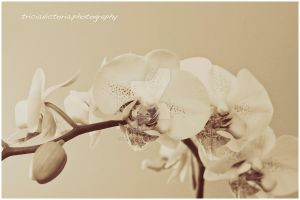 Orchid II by triciavictoria