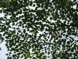 Maple canopy 2 by bluemaus