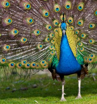 Peacock by GerryD90
