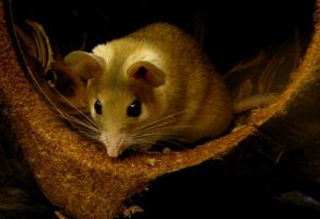 Some kind of African mouse.. by annlo13