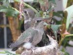 Twin Hummingbird Babies by venturadiva