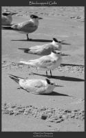 Blackcapped Gulls by blackdoorphotos
