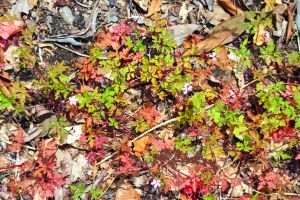 Paper Herb Robert And Leaf Litter by aegiandyad