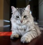 Siberian Cat, Sasha no. 1 by Mischi3vo