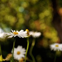 Daisies II by Justysiak