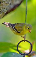 Female Goldfinch by Momenti-Photo