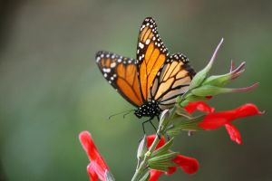 butterfly monarch by davidst123