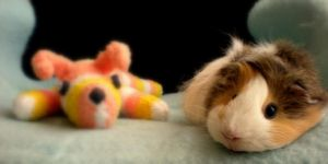 Guinea pig Bony and sock dog by Chiqita32