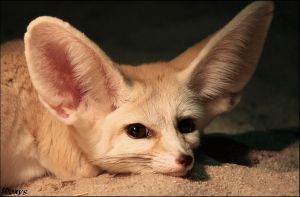 Cute - cuter - fennec fox by woxys