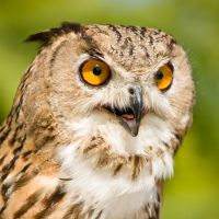 Eagle Owl 4 by jhoye